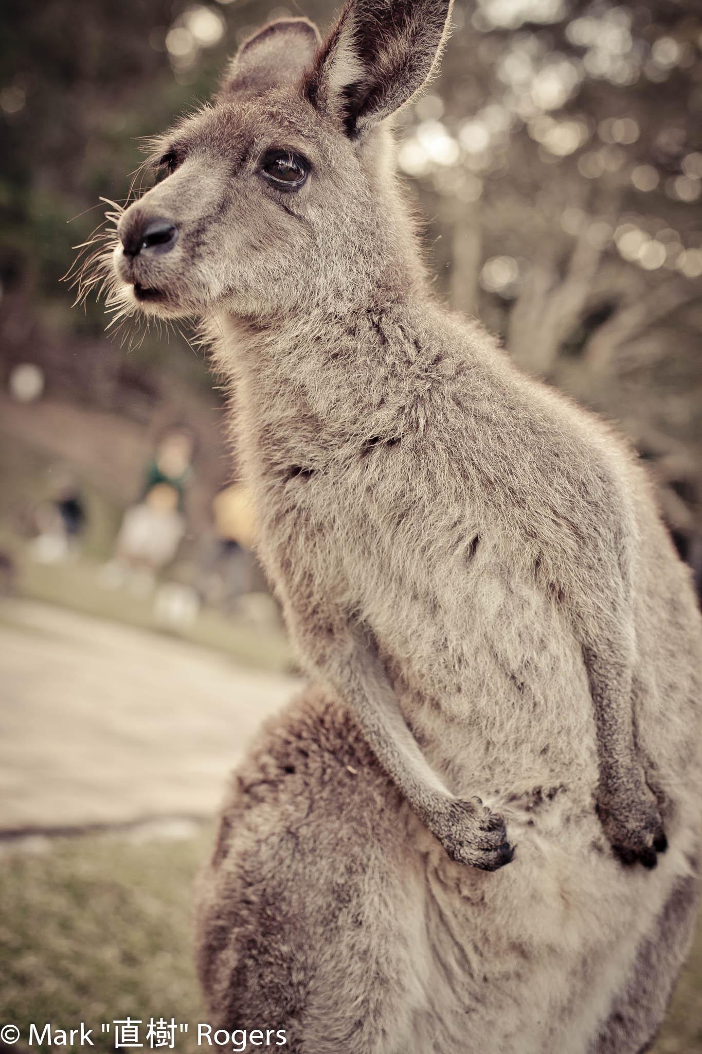Kangaroo_MarkR